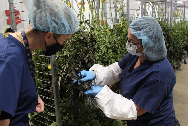 Patty Walther, an assistant harvest/trim manager at Standard Wellness' Gibsonburg medical marijuana facility, shows off a revitalized production strain to Katherine Lagow Tuesday.