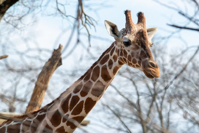 A giraffe at the Topeka Zoo roams around the current exhibit. Construction for a new giraffe exhibit are expected to begin soon with an opening set for Memorial Day 2022.