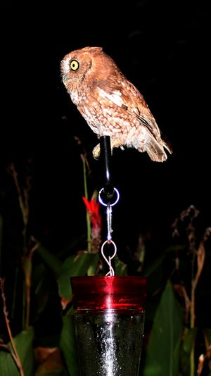 The Eastern Screech Owl on top of the hummingbird feeder.