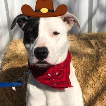 Say hello to Ruff. He has been with the Erath County Humane Society for one year and needs a furever home. Ruff is a 1- to 2-year-old male Pit Bull mix. He is neutered, fully vaccinated and microchipped. He is heart worm negative. He loves to play. He loves to play in water and loves the water hose. He is a bed hog but loves to cuddle. He knows how to sit and will take treats gently. Unfortunately he is not dog or cat friendly. He also needs some leash work. If you want to know more check him out on the Erath County Humane Society website at erathcountyhumanesociety.com