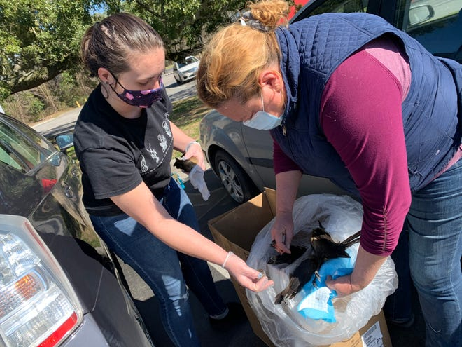 Amelia Mason and Megan Reaves collected more than a dozen dead and dying birds found in a parking lot off Village Road Monday March 8, 2021, in Leland that may have been poisoned, according to SkyWatch Bird Rescue.