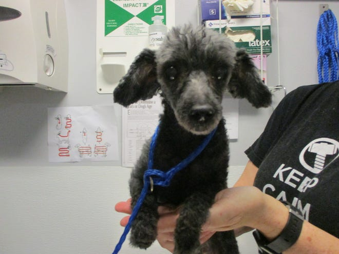 This black and gray poodle is among lost pets Topeka's Helping Hands Humane Society is trying to reunite with their owners through a new Facebook page it established last week.