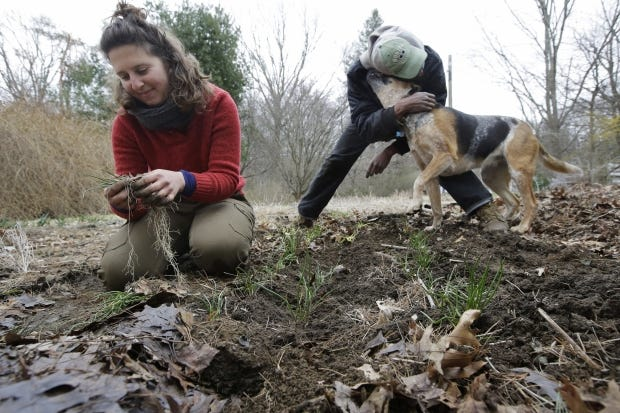 Farmers Sarah Turkus, left, and Dave Kuma, both of Providence, R.I., plant chives on a leased plot of land in Seekonk, Mass., as Sarah's dog Mabel, a 3-year-old hound mix, greets Dave.