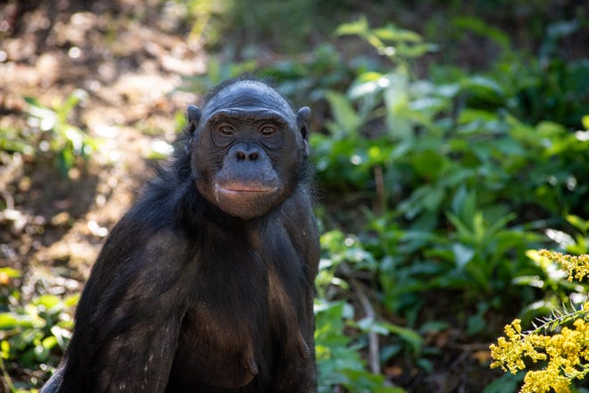 Unga, a 29-year-old bonobo at the Columbus Zoo and Aquarium, died Friday, likely due to a stroke, the zoo announced this week.