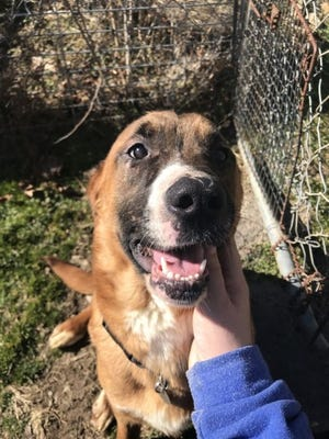 Bock is one of 11 dogs rescued from a Cambridge residence that are available for adoption through the Guernsey County Dog Shelter