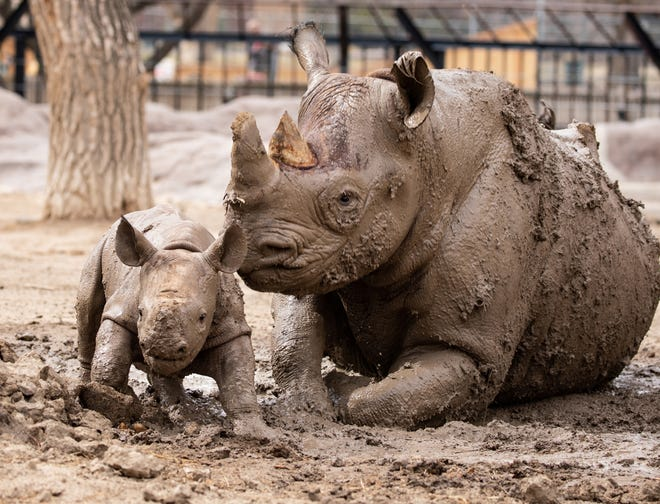 Ayubu, left, the black rhino calf, plays in the mud with his mom Monday during his first outing outside into the exhibit area. The pair will be outside for limited times, late mornings to mid afternoons, in the coming days, depending on the weather.