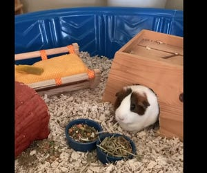 Coconut, an 8-year-old female guinea pig, was stolen from Tree House Episcopal Church Montessori School in Santa Rosa Beach over the weekend. She was back at the school Tuesday.