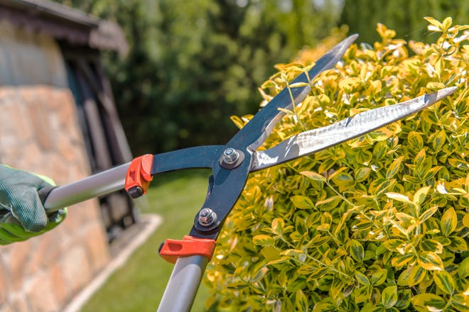Gardener using loppers to trim hedges.