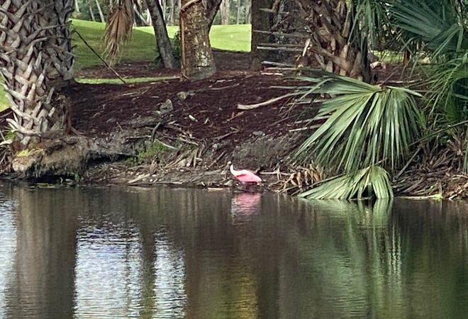 """A roseate spoonbill wades among the """"boots"""" and fronds of sabal palms."""