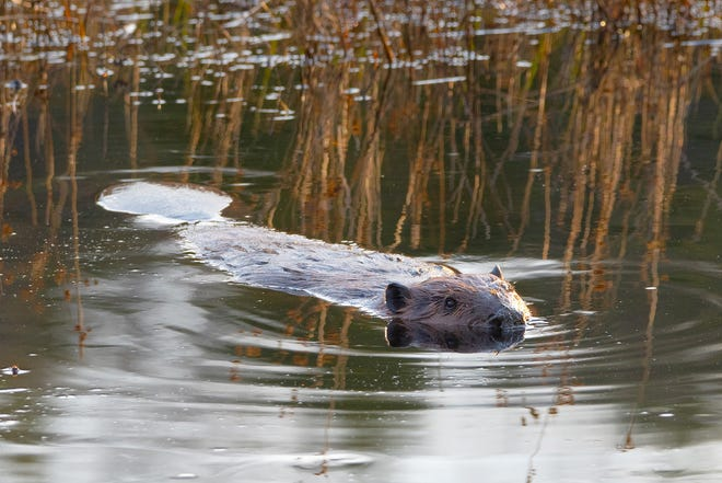 A beaver surfaces on one of the three man-made ponds at Fort Wildlife Refuge in North Smithfield.