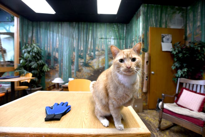 A cat sits inside Mad Dogs and Crazy Cats, a new pet boutique and cat cafe in Alliance. People pay to hang out with the resident cats.