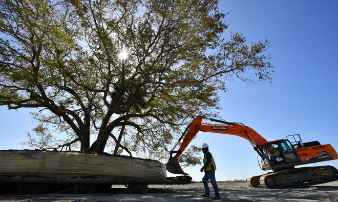 A crew from Environmental Design moves a large oak tree Tuesday morning at Wellen Park. The tree, with a 96-inch trunk diameter, is the largest of 26 trees being moved this month. It will be featured at the Wellen Park Grand Lake, which also is being excavated now. The tree and its root ball are estimated to weigh 566,000 pounds.