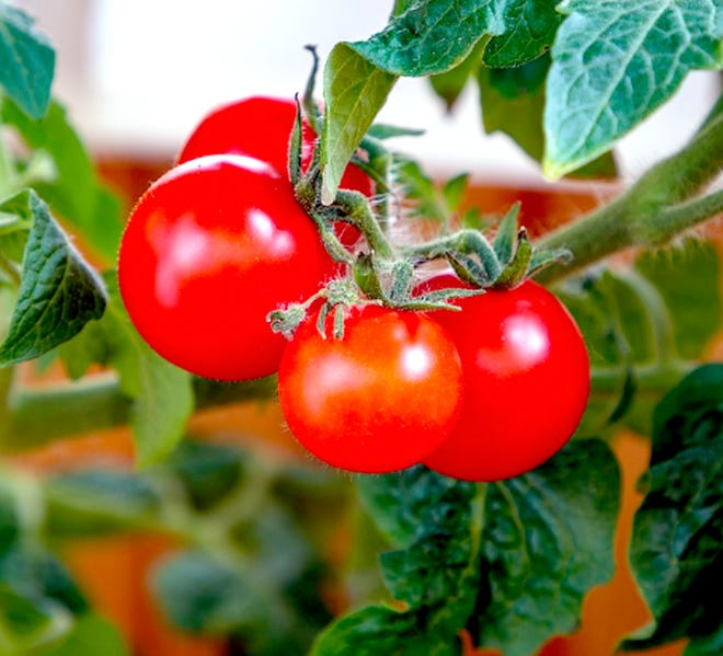 Tomatoes are not blight-resistant, but some varieties are more tolerant to the fungal infection.