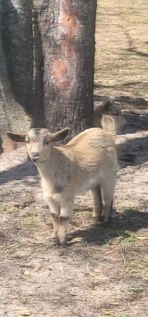 This 9-week-old goat was rescued by crews from the High Springs Fire Department and Alachua County Fire Rescue after falling into a 50-foot sinkhole.  [Jason King/Submitted photo]