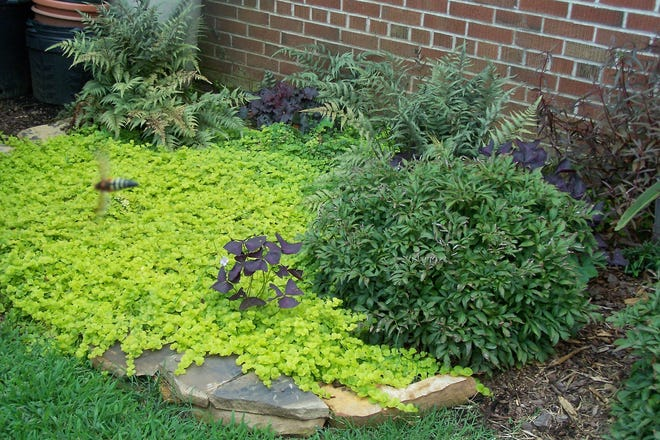 In this planting bed, Creeping jenny covers the ground, snuffing out weeds and adding beauty to the entire area.