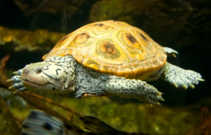 Diamondback terrapins are threatened in Massachusetts and reach their northernmost point in Wellfleet Bay.
