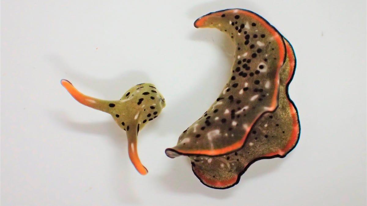 Some sea slugs grow new bodies after decapitation 3