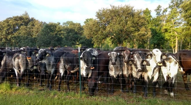 Girolandos bring the best of the two breeds together. Wheeler's team breeds them by repeatedly mating Holstein and Gyr parents (and intermediate hybrids), resulting in animals that are five-eighths Holstein and three-eighths Gyr.
