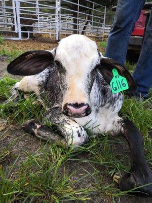 In November 2020, Wheeler's team witnessed the birth of the first U.S.-bred Girolando heifer and purebred Brazilian Gyr bull calves atChessie Creek Farmsin Walterboro, South Carolina. About 100 more Girolando calves are due in September.