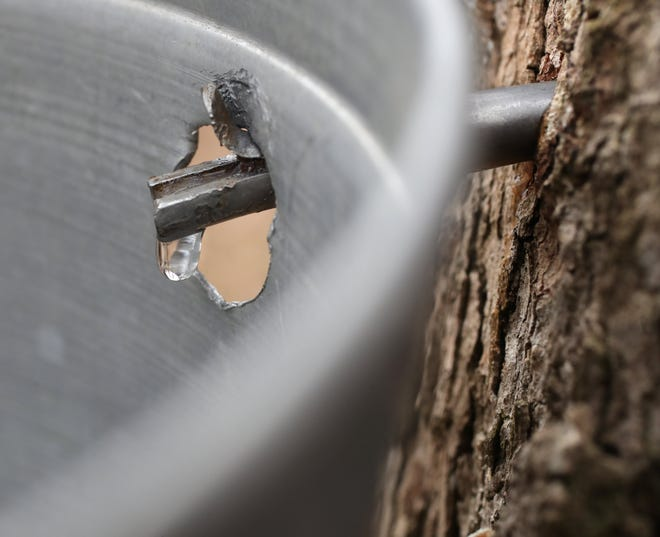 Sap drips from a freshly tapped maple tree at Hale Farm & Village in Bath Township.