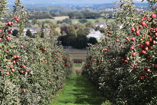 Apple trees are often pruned to create a central leader.