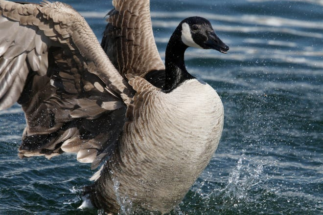 A goose stretches its wings Tuesday in the lake next to Great River Medical Center in West Burlington. A number of Canada geese, which are heading to their northern nesting grounds, are resting and feeding in the area before resuming their trek northward.