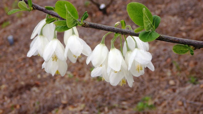 The Carolina Silverbell is a small understory tree native to the Southeast. Its dainty, bell-shaped flowers appear in spring on last year's branches.