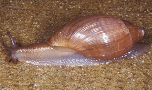 The rosy wolfsnail will help control other snails in your garden.