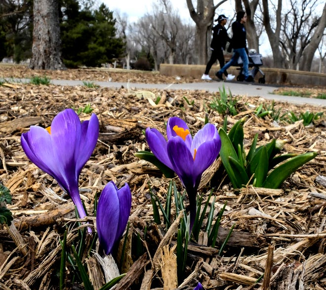 Crocus flowers bloom in a flowerbed Tuesday in A. Harold Long Park as a sign of the approaching spring. Many local residents were taking advantage of the spring-like temperatures in the upper 70s to be outside Tuesday, despite a gusty wind, such as ones waking on the park's walking path.