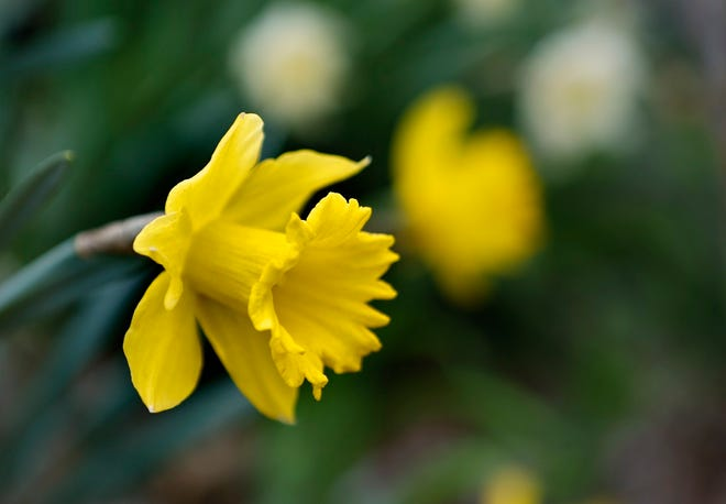 Daffodils are one of the first blooms of spring