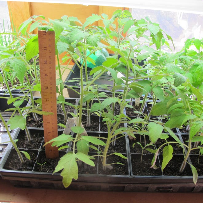 These tomato seedlings are almost ready for the garden.