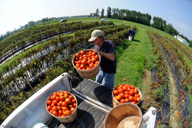 Aaron Kennedy loads a bushel of tomatoes into his truck at Thomas Produce Farm in Burgaw. [STARNEWS FILE PHOTO]