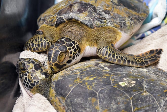 Two juvenile green sea turtles seem to cuddle while waiting to be transported. The Brevard Zoo Sea Turtle Healing Center has taken in several sea turtles who have mysteriously washed ashore the last couple of days from areas in Brevard, Volusia, and other areas in Florida to the north.