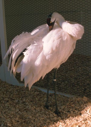 Gee Whiz, a male whooping crane at the International Crane Foundation in Baraboo, died Feb. 24 at the age of 38 years. The crane fathered 178 offspring over his lifetime.