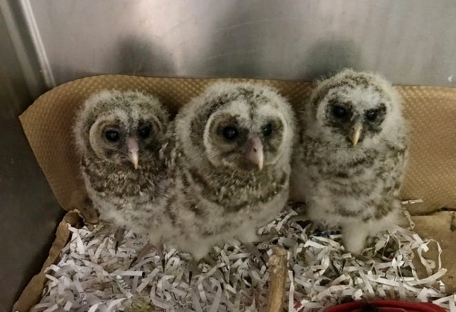 "Dickerson Park Zoo is asking the public to think twice before ""rescuing"" owlets."