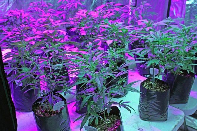 Early stages of marijuana growing at Coastal Aeroponics, Warwick, in 2016.