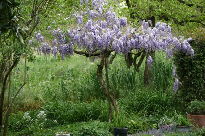 Wisteria trees are gorgeous in the spring.