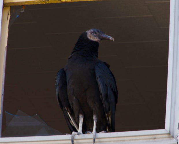 A black vulture perches in the broken windowsill of the vacant 3-decker at 193 Crapo Street in New Bedford.