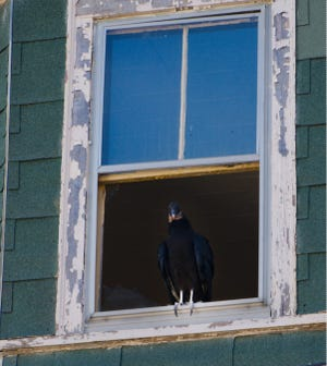 Black vulture perched in the broken window of the vacant 3-decker at 193 Crapo Street in New Bedford.
