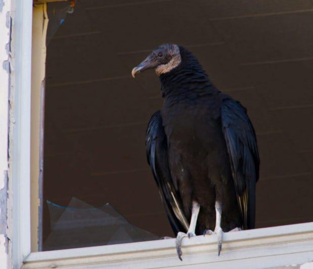 Black vulture seen in the broken window at 193 Crapo Street in New Bedford