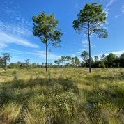 The Wilson Sandhill Grassland property in Columbia County. A conservation easement will allow 539 acres to be protected from intensive development. [Photo courtesy Alachua Conservation Trust]