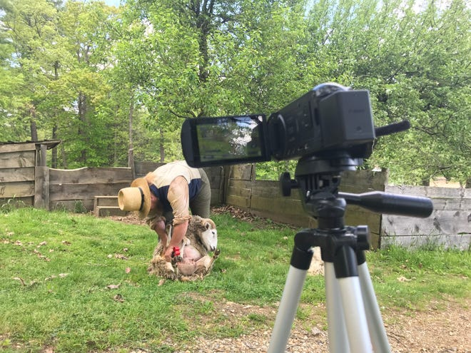 Shear for the camera: A staff member is filmed shearing a sheep on the farm at Old Sturbridge Village.