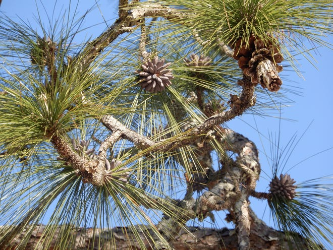 Longleaf pines have a combination of long, flexuous needles (in 3's), whitened-silvery buds, and large cones.
