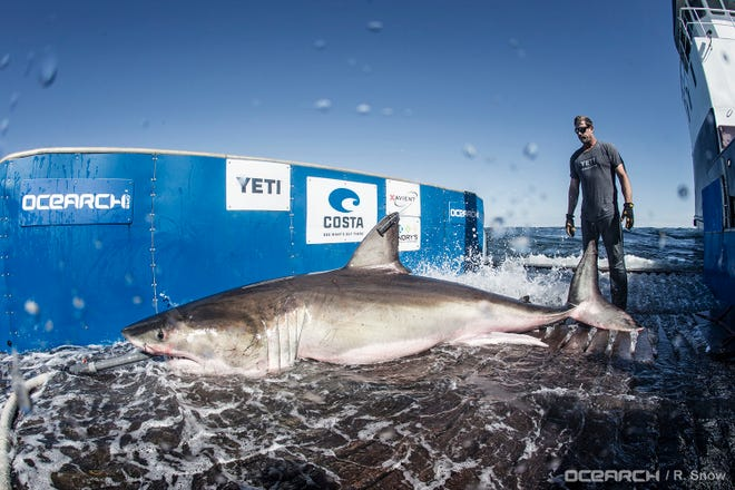 OCEARCH's research expedition off the N.C. coast aims to catch, examine and tag great white sharks in hopes of determining if the area is a primary mating area for the animals.