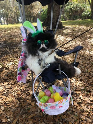 Port Charlotte cat Pepa loves wearing costumes. He was competing in an online contest to be the next Cadbury Bunny.