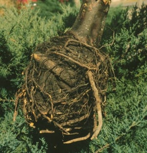 After several years of slow decline, this 11-year old Arizona cypress was finally removed. The culprit: a severely knotted rootball that could have been avoided if circling (also called spiraling) roots had been properly cut at the time of planting.
