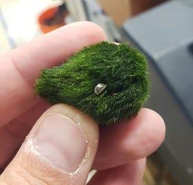 A zebra mussel is seen on a moss ball.