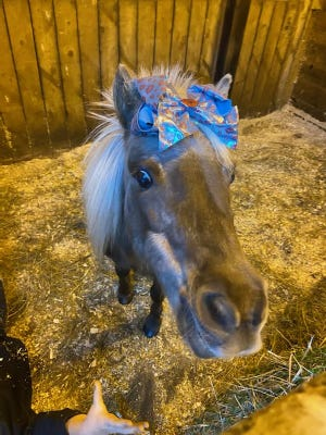 Blondi, a local miniature horse, is entered into the Cadbury bunny contest.