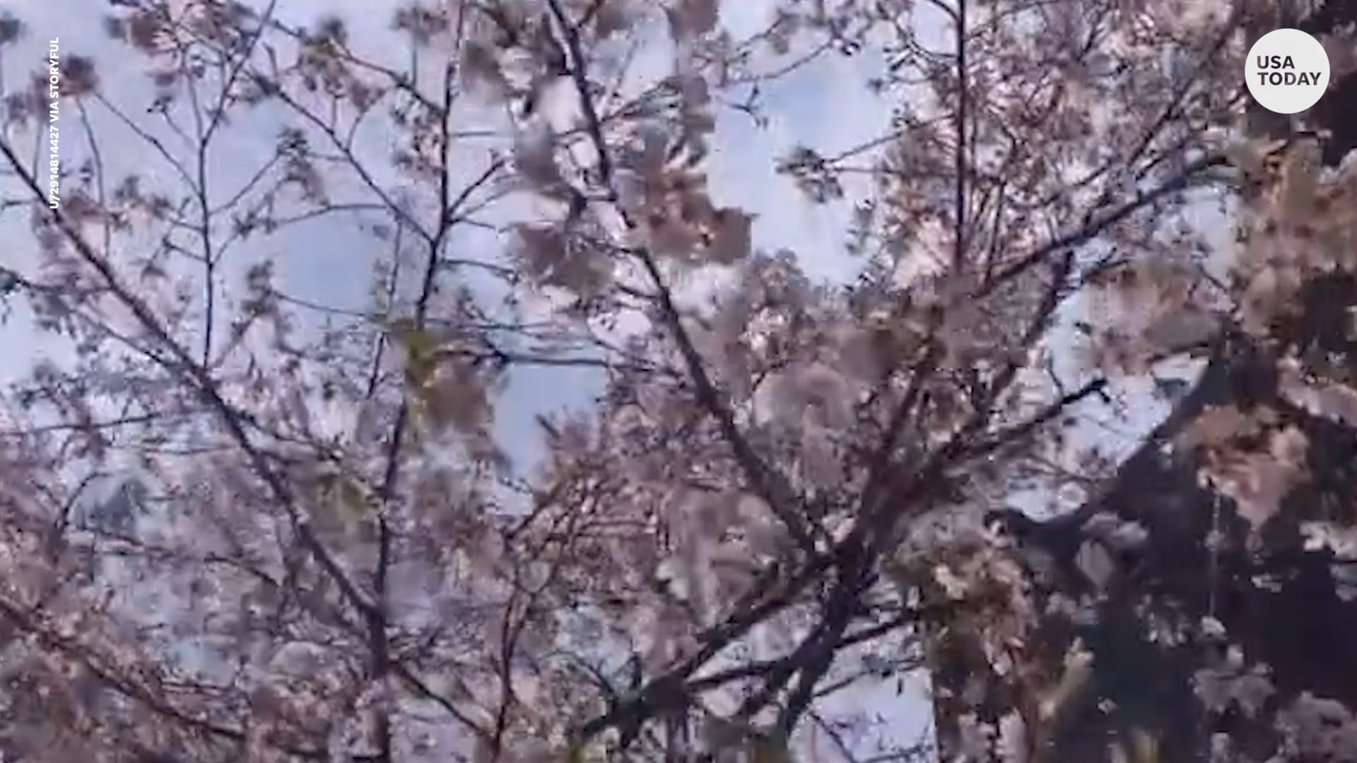 China's cherry blossoms begin to burst with pink blooms outside Wuhan University