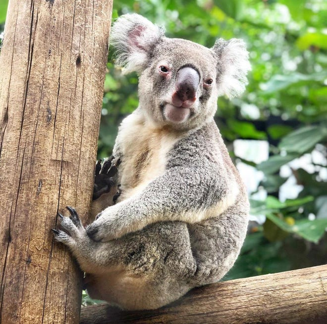 The Palm Beach Zoo announced on Friday, March 12, 2021, that Katherine the Queensland koala had died at age 9 from leukemia.
